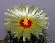 Astrophytum_capricorne-2_flor_DSCN6269.JPG